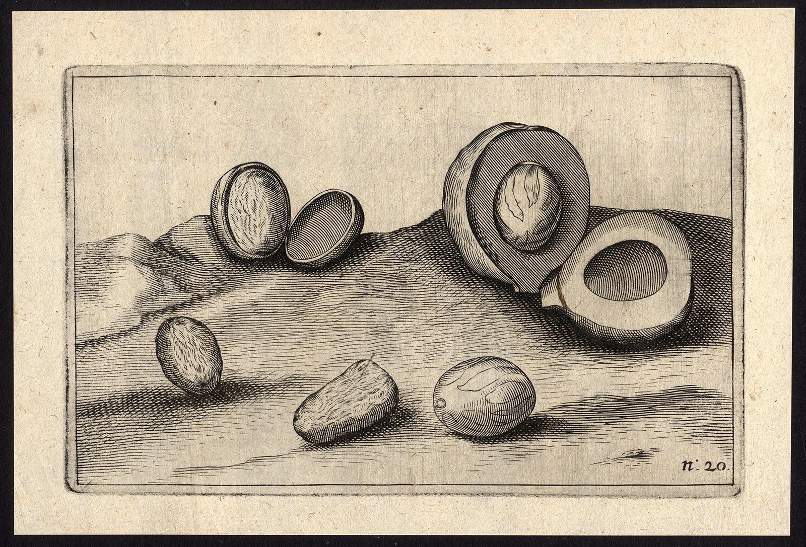 Pl.20 Afteeckeninge van de note-moschaten - Commelin (1646)